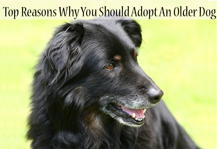Reasons to Adopt An Older Dog