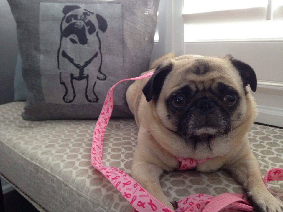 Lola in a breast cancer ribbon harness and leash